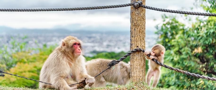 Monkeys playing in Arashiyama mountain, kyoto